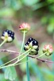 Closeup of Wild Ripe Blackberries Royalty Free Stock Photos