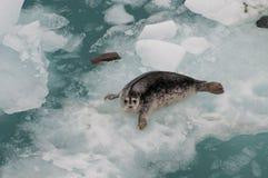 Closeup of wild seal Stock Image