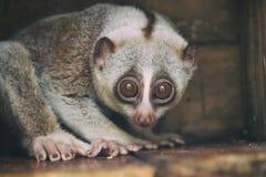 Closeup wild slow loris monkey. Sitting on the branch stock photo