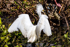 A Closeup of a Wild Snowy Egret Stock Images