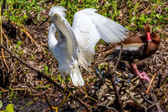 A Closeup of a Wild Snowy Egret Royalty Free Stock Images
