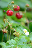 Closeup for wild strawberry Royalty Free Stock Images