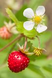 Closeup of a wild strawberry with berries and florets Royalty Free Stock Images