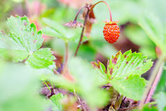 Closeup wild strawberry in forest Stock Photo