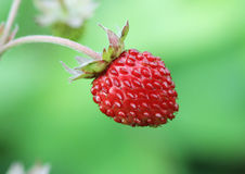 Closeup of a wild strawberry - macro photo Stock Images