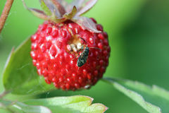 Closeup of a wild strawberry - macro photo Royalty Free Stock Images