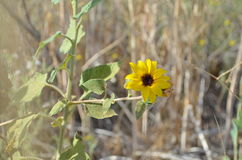Closeup Of Wild Sunflower In A Field. Closeup of a wild sunflower helianthus in a field in California on a sunny day stock photos