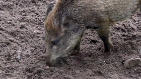 Closeup of a wild swine rooting the sand for food, typical animal behavior. A closeup of a wild swine rooting the sand for food, typical animal behavior stock video footage