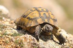 Closeup of wild Testudo graeca. In natural habitat, image taken in spring after hibernation  spur-thighed tortoise Stock Images