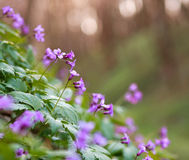 Closeup wild violet flowering meadows in spring forest Stock Photo