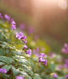 Closeup wild violet flowering meadows in spring forest Stock Photography