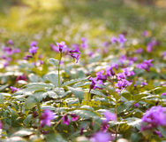 Closeup wild violet flowering meadows in spring forest Royalty Free Stock Photography