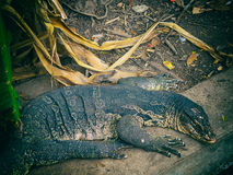 Closeup of wild water monitor Varanus salvator Royalty Free Stock Images