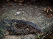 Closeup of wild water monitor Varanus salvator Stock Photos
