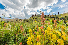 Closeup of wildflowers in alpine meadows Stock Images