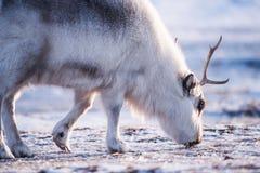 Closeup wildlife white polar fox winter in the Arctic Svalbard. On a sunny day Royalty Free Stock Photos