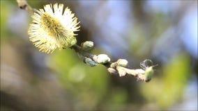 Closeup willow catkin stock video footage