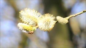 closeup willow catkin stock footage