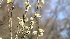 Closeup willow catkin stock video