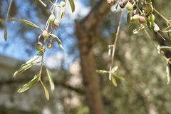 Closeup wind blow branches of beautiful olive tree foliage showing fruits and leaves with wind blow green tree bokeh and blue sky Royalty Free Stock Images
