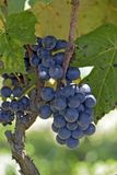 Closeup of wine grape bunch, at harvest point stock photos
