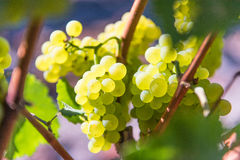 Closeup of wine grapes growing on the vine Stock Photos
