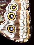 Closeup of the wing of a blue morpho butterfly. Morpho sp., Costa Rica stock photos