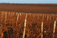 Closeup of winter vineyard with reddish brunches at sunset. Winter vineyard with reddish brunches and wooden pillars at sunset Stock Photo