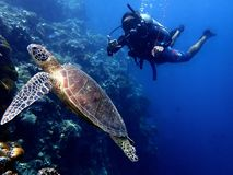 Free Closeup With The Green Turtle During A Leisure Dive In Sipadan Island, Semporna, Tawau, Sabah. Malaysia, Borneo. Royalty Free Stock Images - 164867449