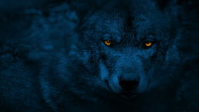 Wolf looking around with glowing eyes at night. Closeup of wolf in the dark looking around with glowing orange eyes and ducking out of sight