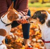 Closeup on woman feeding dogs outdoors in autumn. Closeup on young woman feeding dogs outdoors in autumn Royalty Free Stock Photos
