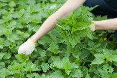 Closeup of woman gathers nettle Royalty Free Stock Images