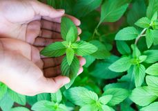 Closeup woman hand holding fresh pepper mint in pot, herb and he