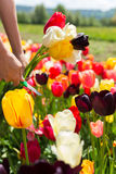Closeup woman hands cutting a bouquet of tulips on a flower fiel Royalty Free Stock Photos