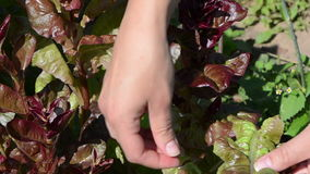 Closeup woman hands gather pick salad leaves in rural garden stock footage