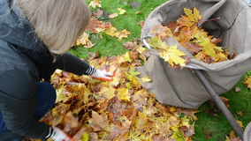 Closeup woman hands gloves load tree leaf bag. autumn works stock video