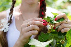 Closeup on woman hands picking raspberry. Closeup on girl hands picking raspberry on summer outdoors background Stock Photo