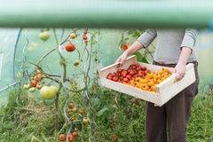 Closeup on woman holding a crate with tomatoes into greenhouse Royalty Free Stock Photography