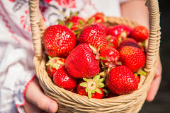 Closeup of woman`s hands holding basket with organic garden summer strawberry berries. Healthy lifestyle and healthy eating.Fruit Stock Photo