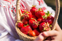 Closeup of woman`s hands holding basket with organic garden summer strawberry berries. Healthy lifestyle and healthy eating.Fruit. Closeup of woman`s hands Royalty Free Stock Photo