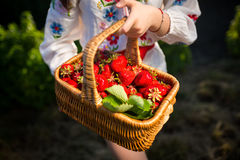 Closeup of woman`s hands holding basket with organic garden summer strawberry berries. Healthy lifestyle and healthy eating.Fruit. Closeup of woman`s hands Stock Photography
