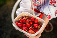 Closeup of woman`s hands holding basket with organic garden summer strawberry berries. Healthy lifestyle and healthy eating.Fruit Royalty Free Stock Photo