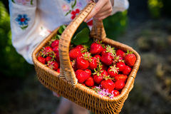 Closeup of woman`s hands holding basket with organic garden summer strawberry berries. Healthy lifestyle and healthy eating.Fruit Stock Images