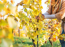 Closeup on woman in vineyard caring for bushes Stock Photo