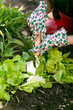 Closeup of woman working at garden on fresh organic lettuce bed Royalty Free Stock Photography