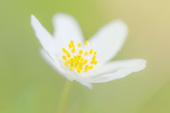 Closeup of a Wood anemone flower on light green background Stock Photos