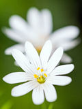 Closeup of wood anemone flowers (Anemone nemorosa) Royalty Free Stock Images