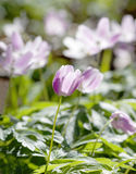 Closeup of wood anemone with a violett tint Royalty Free Stock Photography