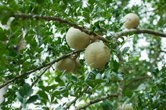 Closeup of wood-apple or Makwid Stock Photos