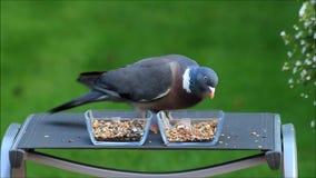 Closeup wood pigeon. Eating bird seed stock footage